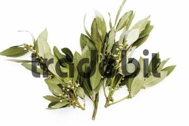 Bay leaves, Laurel leaves Lauraceae