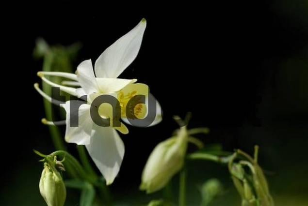 Columbine Aquilegia blossom in front of a dark background, Mindelheim, Bavaria, Germany, Europe