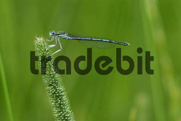 White-legged Damselfly Platycnemis pennipes perched on a blade of grass