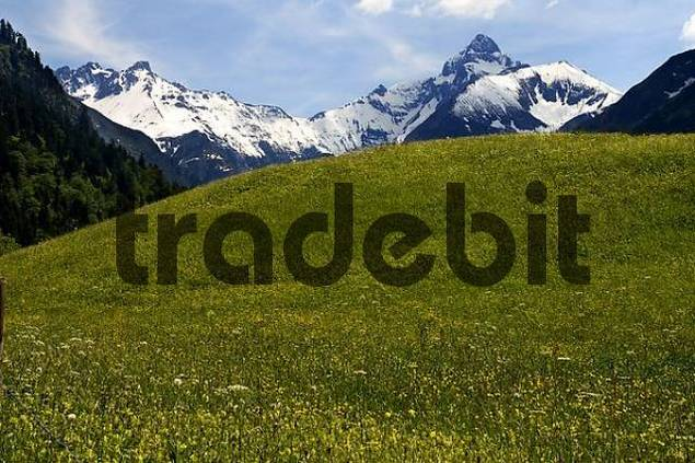 Spring meadow with view of the Allgaeu Alps, Gerstruben, Upper Allgaeu, Bavaria, Germany, Europe