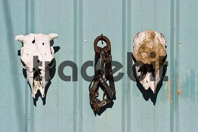 skulls and bridle on barn wall, Oregon, USA