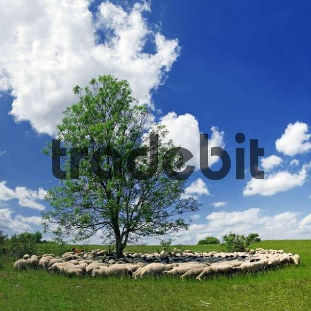 Herd on sheep grazing around a tree near Eichstaett, Bavaria, Germany, Europe