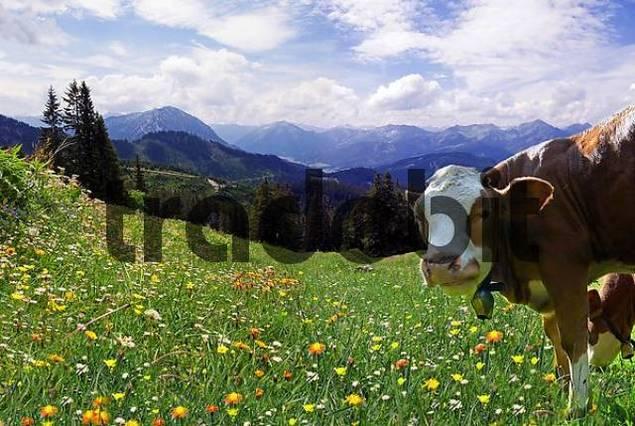 Cow on flower meadow near Blaubergalm Blue Mountain alpine pasture, Tirol, Austria, Europe