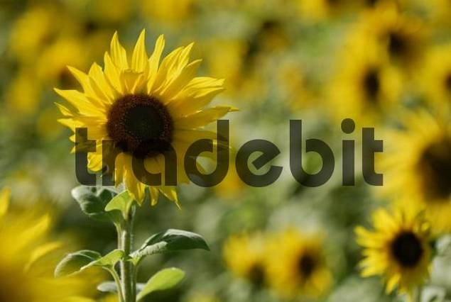 Sunflower Helianthus annuus in a field of sunflowers, Bad Woerishofen, Lower Allgaeu, Bavaria, Germany, Europe
