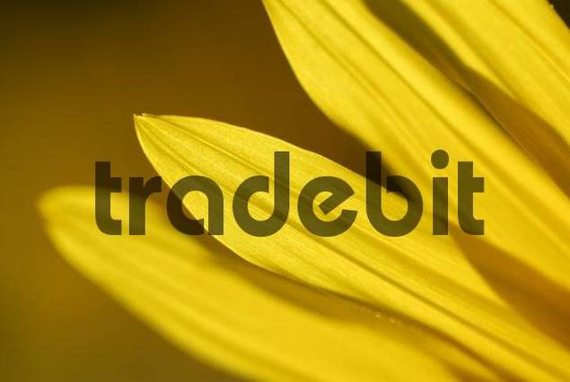 Sunflower Helianthus annuus detail, Bad Woerishofen, Lower Allgaeu, Bavaria, Germany, Europe