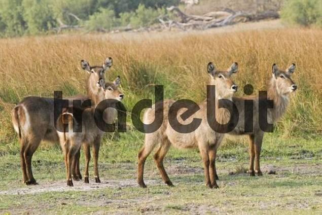 Waterbucks Kobus ellipsiprymnus, Moremi Nationalpark, Moremi Wildlife Reserve, Khwai River, Okavango Delta, Botswana, Africa