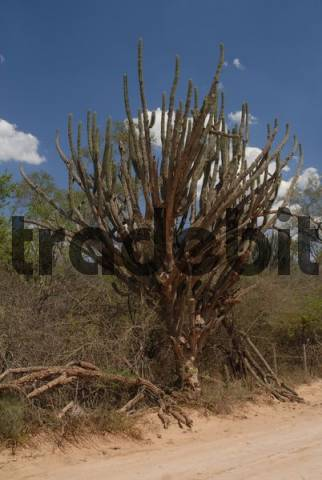 Cactus tree Cereus sp., arid landscape in front of a dark blue sky, Gran Chaco, Paraguay, South America