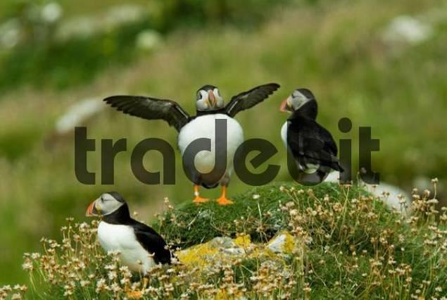 Three Atlantic Puffins Fratercula arctica, one with outspread wings, Treshnish Isles, Scotland, UK, Europe