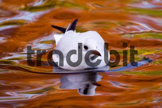 Black-headed Gull Larus ridibundus, fall colours reflected on the waters surface, Luisenpark, Mannheim, Baden-Wuerttemberg, Germany, Europe