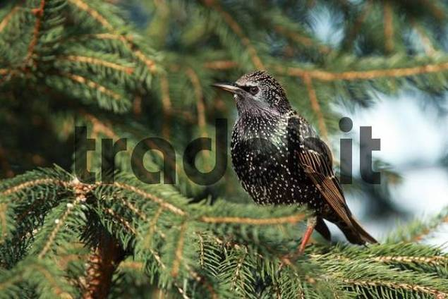 European Starling or Common Starling Sturnus vulgaris
