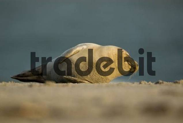 Atlantic Grey Seal Halichoerus grypus pup rolling around on the beach at Helgoland Island, North Sea, Lower Saxony, Germany, Europe
