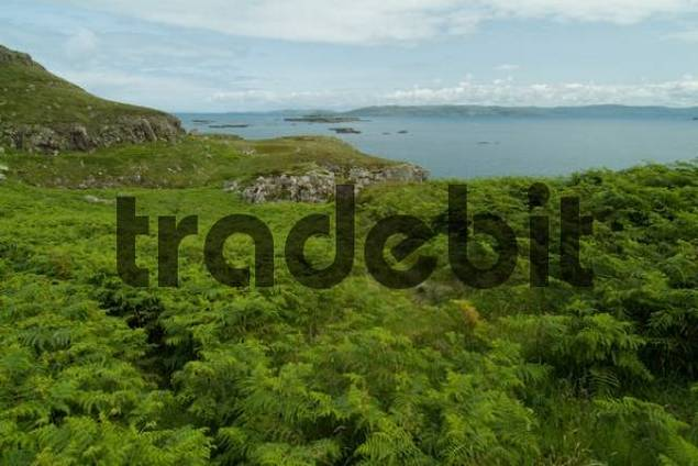 Ferns growing on Lunga Island, Treshnish Isles, Scotland, UK, Europe