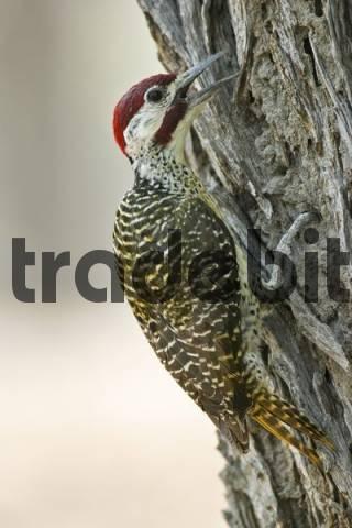 Bennetts Woodpecker Campethera bennettii, Moremi Nationalpark, Moremi Wildlife Reserve, Okavango Delta, Botswana, Africa