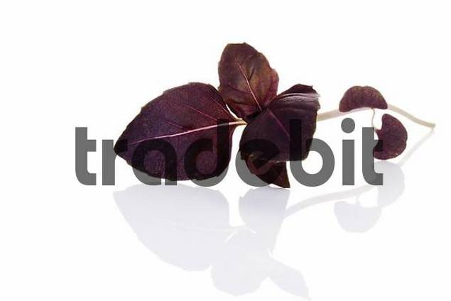 Red - or Purple Basil Ocimum basilicum var.