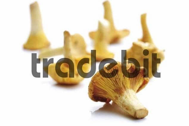 Fresh Golden Chanterelle mushrooms Cantharellus cibarius