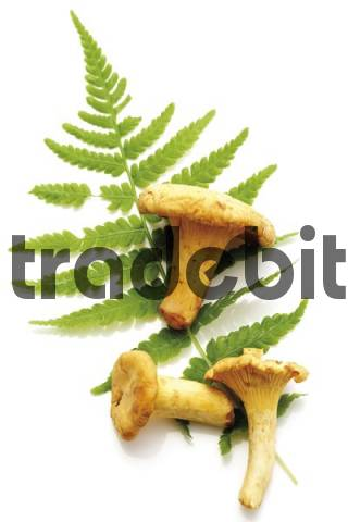 Fresh Golden Chanterelle mushrooms Cantharellus cibarius laying on a fern leaf