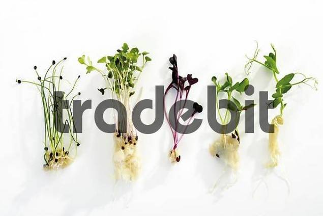 Assorted cress: Rock Chives, Tahoon, Daikon, Sekura