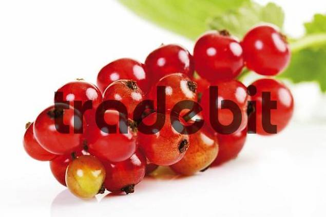 Red Currants or Redcurrants Ribes rubrum, panicle