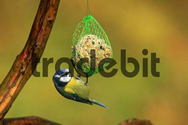 Blue Tit Parus caeruleus feeding from bird feed net hanging from a tree branch