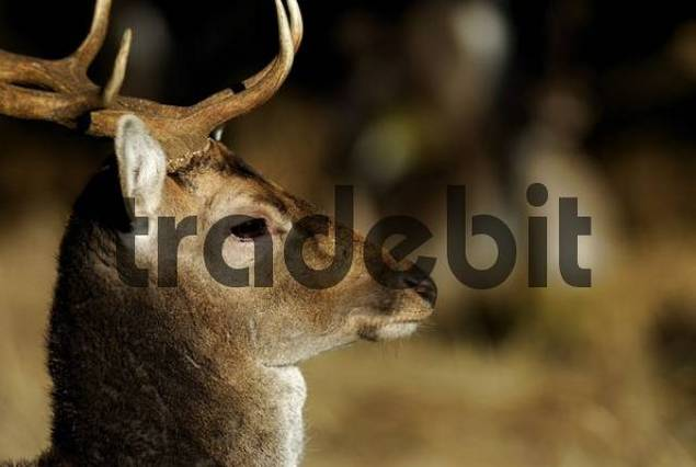 Fallow Deer Dama dama, Landsberg, Bavaria, Germany, Europe