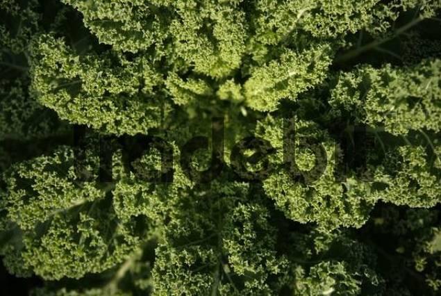 kale or borecole brassica oleracea convar acephala var. Black Bedroom Furniture Sets. Home Design Ideas