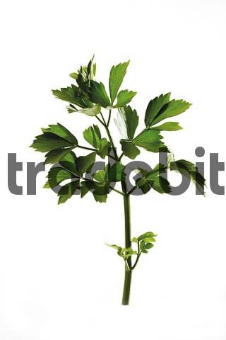 Lovage Levisticum officinale