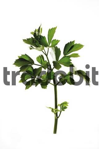 Lovage Levisticum officinale