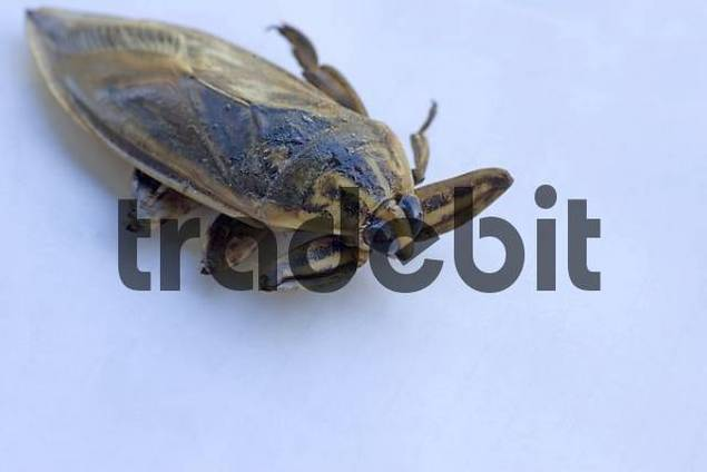 Deep-fried water bug, Thai delicacy, Thailand, Southeast Asia