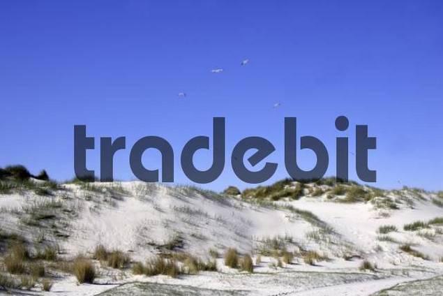 seagulls flying above white sand dunes at island Amrum in the nature reserve Amrum Odde - Amrum, North Friesland, Schleswig-Holstein, North Sea, Wadden Sea, Germany, Europe
