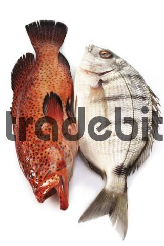 Coral Grouper and Bass species