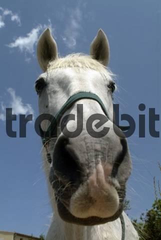 Grey or Gray Horse Equus ferus caballus
