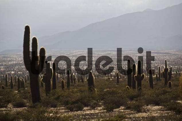 Cardon cactus Pachycereus pringlei in back light, Nationalpark Los Cardones, Argentina, South America