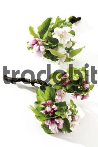 Apple blossoms Malus