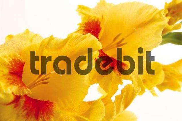 Yellow Gladiolus Gladiolus