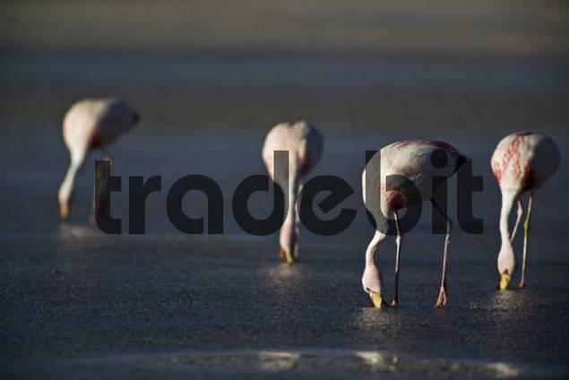 Flamingos Phoenicoparrus at Lagoon Laguna Colorada, Altiplano, Bolivia, South America