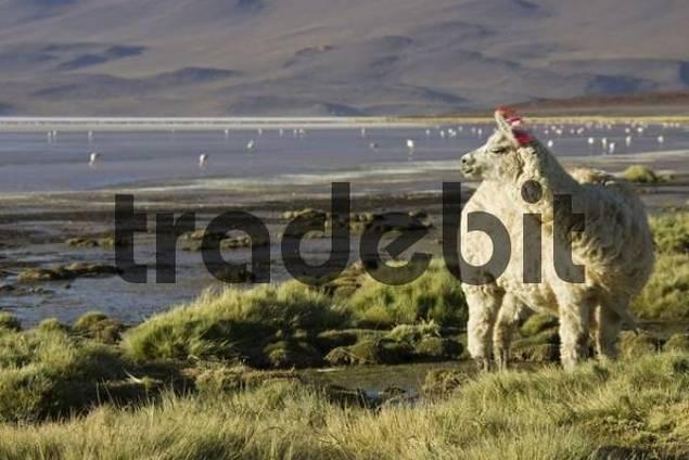 Llama Lama glama at lagoon Laguna Colorada, Altiplano, Bolivia, South America