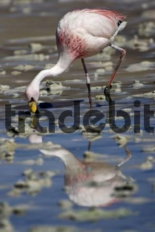 Flamingo Phoenicoparrus, Altiplano, Bolivia, South America