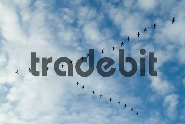 Canada Goose Branta canadensis flying in a V formation