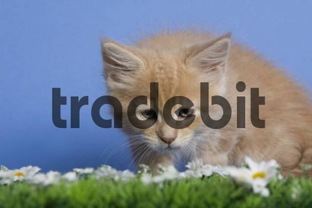 Maine Coon kitten sitting on artificial grass