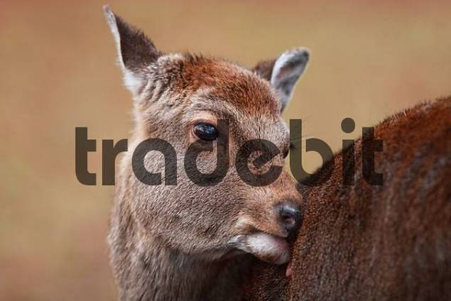Sika Deer Cervus nippon