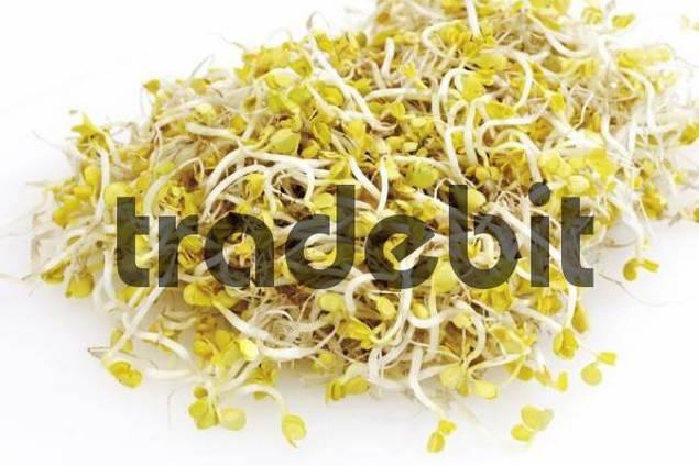 Radish sprouts Raphanus sativus