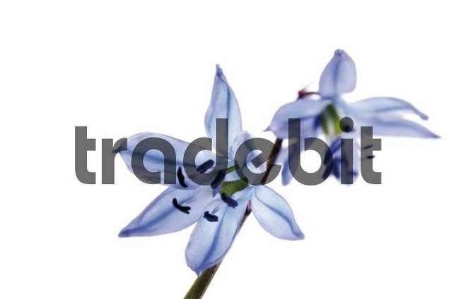 Alpine Squills Scilla bifolia
