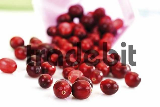 American Cranberries Vaccinium macrocarpon