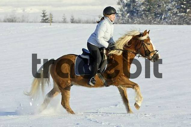 Girl galloping on back of a Haflinger horse in winter