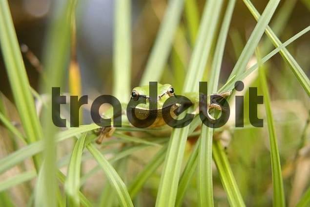 A Greenback Hyla arborea sitting in high gras