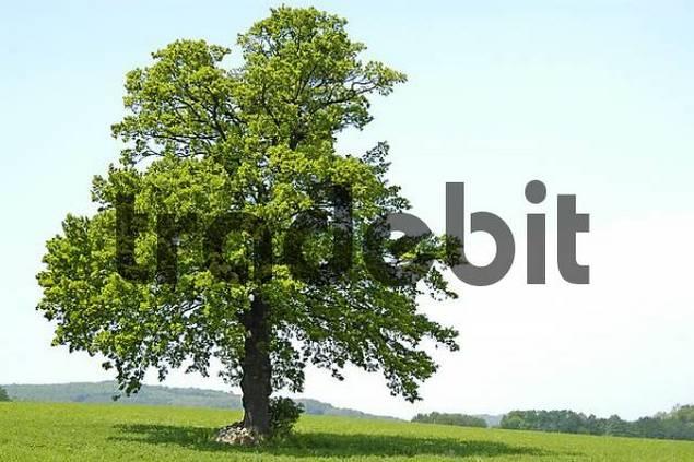 A Tree on grassland