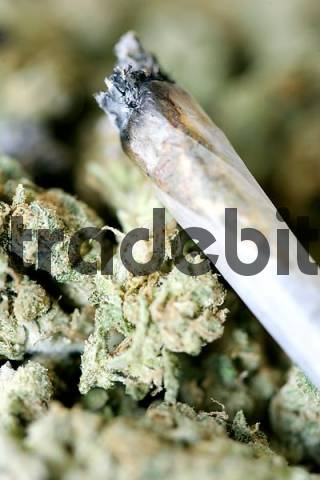 Burning Joint lies on top of dried marijuana blooms