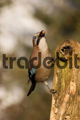 common jay sitting at a trunk with a nut in the beak