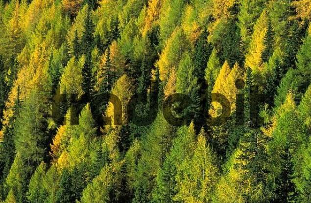 golden larch forest in autumn