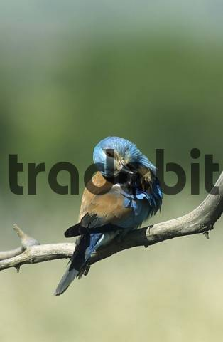 European roller preening its plumage